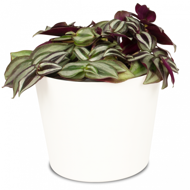 Vaderplant