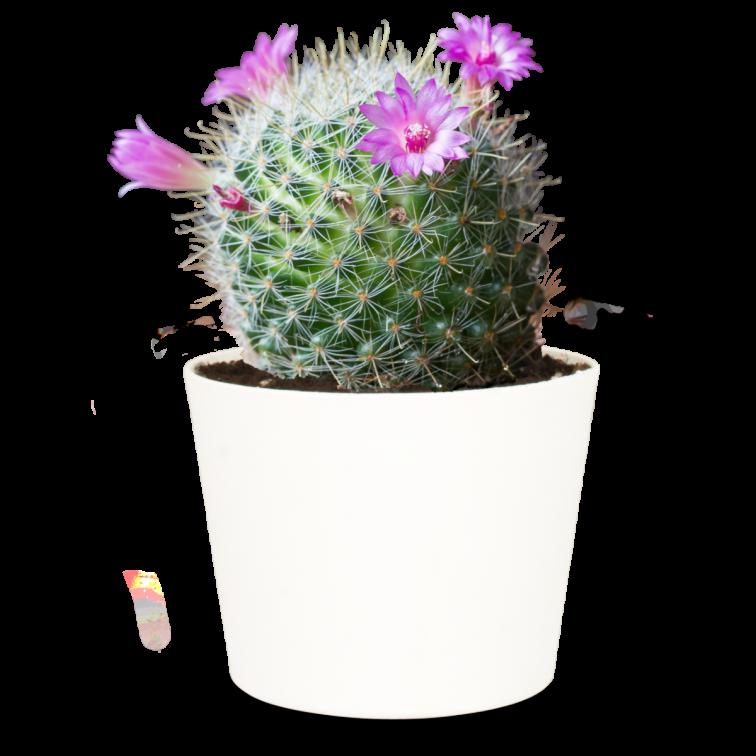 Tepelcactus